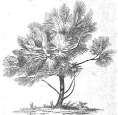 Pinus HartwegL.