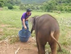 Ha még nem hallottad, hogyan kacarászik egy kiselefánt, most itt a lehetőség Elephant Camp, Baby Elephant, Chiang Mai, Six Month Old Baby, Laughing Baby, Social Media Pages, Habitats, Geluk, Joy