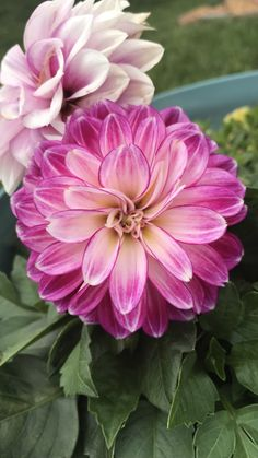 Dahlia, Rose, Flowers, Plants, Pink, Plant, Roses, Royal Icing Flowers, Dahlias