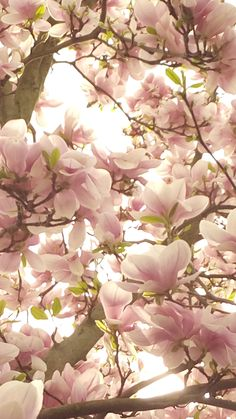 Tulipán fa Magyarország