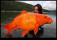Biggest Gold Fish Found in France | Newsflavor