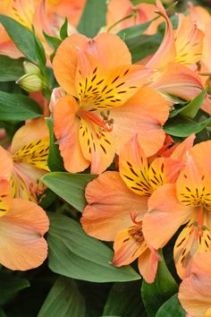 Compact and free-flowering, Alstroemeria 'Princess Mathilde' (Peruvian Lily) is a vigorous perennial that features large peachy-orange flowers flecked with burgundy. Exotic Flowers, Orange Flowers, Tropical Flowers, Beautiful Flowers, Cactus Flower, Yellow Roses, Pink Roses, Summer Flowering Bulbs, Cranesbill Geranium