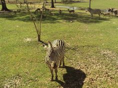 Zebra at Gone Wild Safari, Hooper Road, Pineville, LA - photo taken from tram