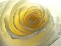 Light yellow rose... So delicate & pretty.