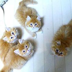 マンチカンの子猫達、ハイッチーズ! の画像|マンチカンズと仲間たち(短足猫のマンチカンの画像と動画)  Munchkin kitten
