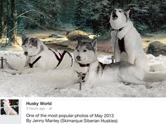 Gorgeous Siberian Huskies in the snow by Jenny Manley, Skimarque Siberian Huskies.