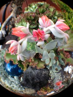 Succulents that have beautiful bell shaped flowers in pretty pink