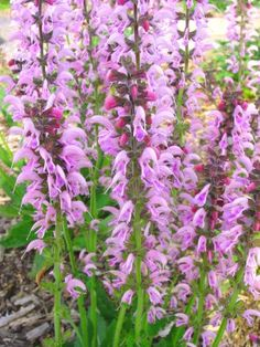 Salvia Eveline- the best pink salvia