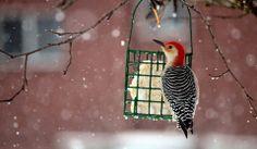 Woodpecker in Summersville, 3.3.2014