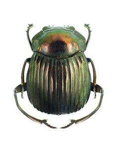 Deltochilum icarus
