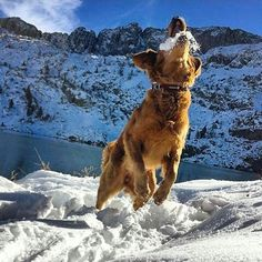 By bora_heimdall: #mydog #my #dog #happy #snow #camping #friends #goldenretriever #travel #adventure #mountains #outdoors #beautiful #smile #love #me #yoga  #landscape #photo #photograph #photooftheday #instalike #nature #vscocam #instagood #instagood #vsco  #vscogood #follow #like4like #landscape #contratahotel
