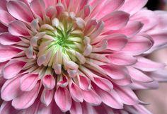 lavender chrysanthemum - focus flower
