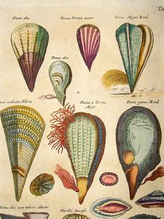 Merian & Jonston 1718 Folio Hand Col Print. Pinna Shells
