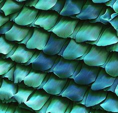 Coloured Scanning Electron Micrograph (SEM) of scales from the wing of a peacock butterfly, Inachis io. These scales have an intricate design and overlap like the tiles on the roof of a building. They allow heat and light to enter, and a Peacock Butterfly, Butterfly Wings, Peacock Colors, Patterns In Nature, Textures Patterns, Blue Patterns, Nature Pattern, Animal Patterns, Pretty Patterns