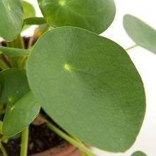 Green Lifestyle Store -Limited Stock!- - Pannenkoekenplant (Pilea Peperomioides)