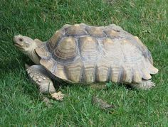 All tortoises do best in large, outdoor enclosures where they can get as much natural sunlight as they need to grow properly and be healthy. Description from exoticsandmore.blogspot.com. I searched for this on bing.com/images
