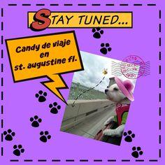 Candy de viaje en St. Augustine Florida, Coton de tulear I Lorentix