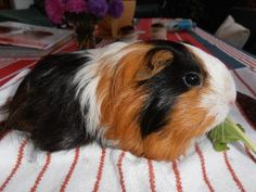 "Calico guinea pig This looks like our ""Priscilla"""