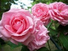 Gene Boerner, Floribunda, light pink, full sun, Flowers: Double, Pointed / Tea, Exhibition Form, Medium, 35 Petals, Lightly Fragrant: Spicy Long lived, pure pink blooms Flowering Habit:  Blooming Season: Repeat  Height: 3.5 feet x , Habit: Upright Foliage: Shiny Light Green I own 2