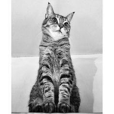 Sitting properly✨ #sit #sitting #blackandwhite #bw #blackandwhitephotography #cute #beautiful #cat #cats #kitten #catsofinstagram #kittiesofinstagram #weeklyfluff #tabby #animal #photooftheday #instagramcats #cat_features #iphonesia #thedailykitten #bestmeow #gato #excellent_cats #webstagram #instagramhub #ねこ部 #ねこ #tokyocats #キジトラ #猫hoodiecat2016/02/26 20:01:15