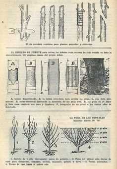 Injerto de escudete y de espolón y también la poda de los frutales. Fuente: Almanaque del Ministerio de Agricultura para el año 1931.