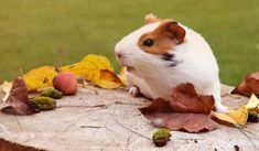 10 reasons why guinea pigs make great pets - Pet Problems Solved