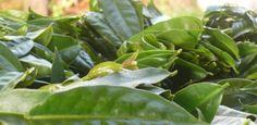 Você pode até ter em casa uma planta chamada Ora-pro-nobis, bastante utilizada como cerca viva, devido aos seus espinhos pontiagudos, mas extremamente bela.
