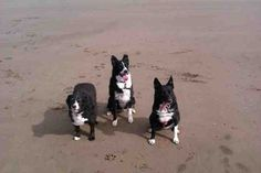 From the left, here's Sammy, a Border Collie cross King Charles, aged 10, Lilly, a Border Collie cross German Shepherd, aged 6, and Cassie, a Border Collie aged 4. All three dogs love the beach! It's their time away from everyday life. Lilly and Cassie love going in the sea, where Sammy is a bit more reserved and happier to walk on the sand next to his owners. The girls enjoy a very energetic visit to the beach whilst Sammy is happy to stroll along taking in the sea air!