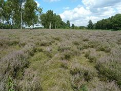 """Sherwood's Historic Heathlands. """"Lowland heathland is one of our most fragile and threatened habitats. It is rarer than rainforest."""" 