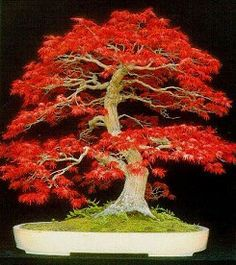 A breathtaking Maple bonsai tree. A small work of art taking decades to create.Bonsai is a Japanese art form where miniature trees are grown in containers and are trained for aesthetic appreciation. Gorgeous. www.flowers-like-people.com/top-5-bonsai-tree-specimen.html