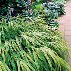 Our 17 Favorite Perennials That Thrive in Shady Gardens japanese forestgrass perennial - SHADE Ornamental Grasses For Shade, Flowering Shade Plants, Shade Garden Plants, Tall Plants, Potted Plants, Grass For Shady Areas, Best Perennials For Shade, Shade Grass, Shade Landscaping