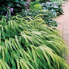 japanese forestgrass perennial