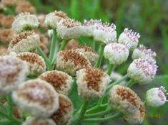 PLANTAS MEDICINALES A TU SALUD: LUCERA
