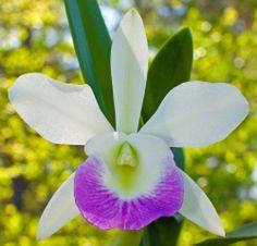 Blc. Hawaii Stars 'Paradise'