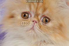 Foto: Sguardo curioso di cucciolo di persiano bianco e rosso © sery #48948269