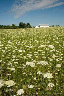 Field of Queen Ann's Lace- my favorite summer flower