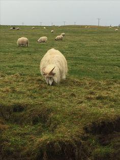 The most noble sheep Iceland, Sheep, October, Animals, Ice Land, Animales, Animaux, Animal, Animais