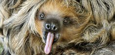 Sloth Fact 9 – A Sloths Fur Sloths have a very unique coat of fur. Since sloths spend pretty much all of their day hanging upside down their hair actually grows in the complete opposite direction to other mammals. Sloths hair grows away from their extremities to protect them from the rainy conditions of the rain forest.