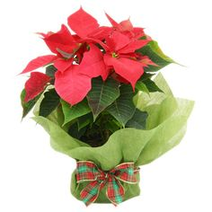 Poinsettia Plant - Christmas Gift - Flowers for Everyone Poinsettia Plant, Christmas Poinsettia, Christmas Flowers, Christmas Flower Delivery, Special Flowers, Gift Flowers, Send Flowers, Fresh Flowers, Christmas Gift Wrapping