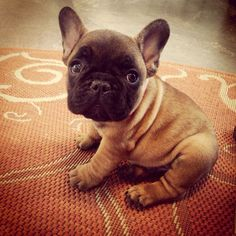 Snuggly French bulldog puppy at 8 weeks old.