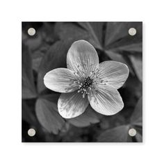 Black And White Flower Acrylic Print, Single piece, 12 x 12 inches