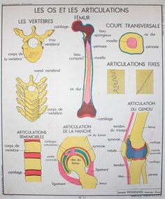 Anatomy – Human body – Sciences – Vintage – Large stunning French School Poster – double-sided – Bones and Joints – The Accidents Human Body Science, Flags Europe, Medical Laboratory Science, Muscular System, French School, Bone And Joint, School Posters, Human Anatomy, Learn French