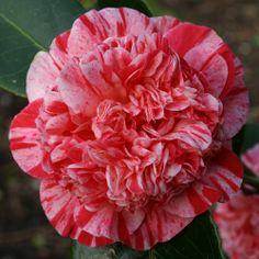 camellias Little Bit