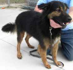 Ditto is an adoptable German Shepherd Dog Dog in Collingwood, ON. Ditto is a 2 year old Golden Retriever/Sheppard. He is neutered, up to date on all shots and micro chipped. Ditto is a wonderful walke...