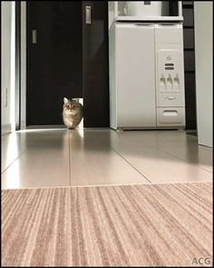 ACG • CAT GIF • Cute Munchkin Kitty walking slowly like a Top Model during New York Fashion week