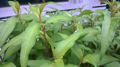 ผักแพว (Persicaria odorata)