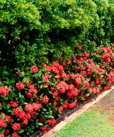 Maui Red Ixora - 3 Gallon - Tropical Plants - Flowering - Buy Plants Online