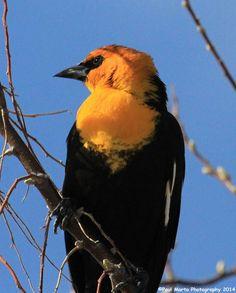 Yellow-headed Blackbird photograph by award winning wildlife photographer Paul J Marto Jr.