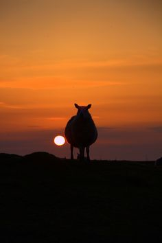 Uist sheep