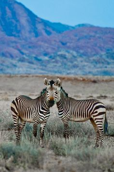Two zebras living as one...shot recently in Etosha Nat'l Park, Namibia